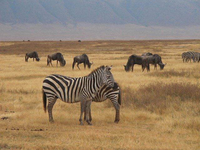 zebry a Safari.jpg