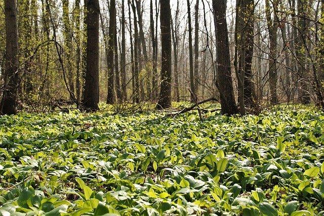 česnek v lese